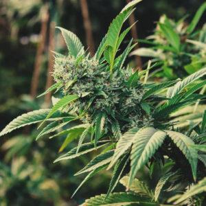 Le Cannabis et le CBD : Les differences